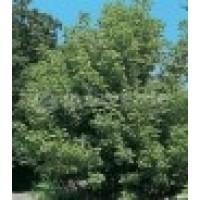 Acer Negundo en Maceta de 25 Cm