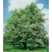 Acer Saccharinum Caliber 10/12