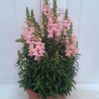 Antirrhinum Majus - 25cm - Centro Terrina  - Rosa - (Co)