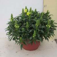 Antirrhinum Majus - 25cm - (Co)