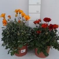 Arctotis X Hybrida - Margarita Africana - Color Granate - Contenedor de 5Litros - (Co)