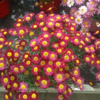 Argyranthemum Frutescens - 10 Litros - Margarita - Color Fuchsia - 30cm de Altura - (Co)