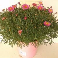 Argyranthemum Frutescens - 10 Litros - Rosa - 30cm de Altura - (Co)