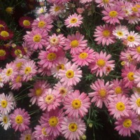 Argyranthemum Frutescens - 2,5 Litros - Color Rosa - Margarita - 30cm de Altura - (Co)