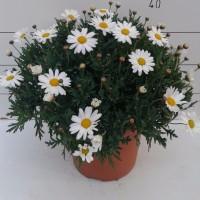Argyranthemum Frutescens - Contenedor de 10Litros - 30cm de Altura  - (Co)