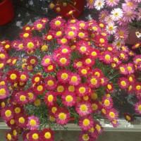 Argyranthemum Frutescens - Fuchsia - 2,5 Litros - Margarita - (Co)