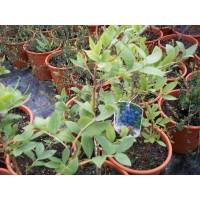 Arándano Azul Bluecrips en Maceta de 20 Cm