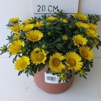 Asteriscus Maritimus - 2,5 Litros - 20cm de Altura - (Co)