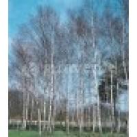 Betula Alba. Maceta de 25 Cm