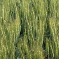 Semillas de Trigo Blando Bologne, Calidad R1