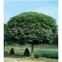 Catalpa Bignoides en Maceta de 30 Cm