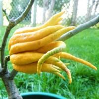 2004 – Citrus Medica - Mano de Buda - Cidro Digitado – 50/60Cm de Altura – 22cm – (Val)