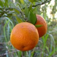 2005 – Citrus Mirtifolia - Naranjo Moruno,enano O Chinotto – 80/90Cm de Altura – 22cm – (Val)