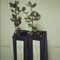 Planta Micorrizada con Trufa Negra. 25 Plantas