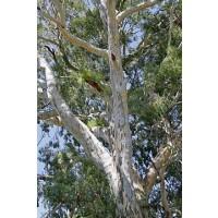 Eucalyptus Camaldulensis Rostrata en Maceta d