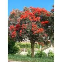 Eucalyptus Ficifolia en Maceta de 25 Centímetros