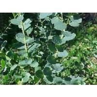 Eucalyptus Parvifolia Calibre 6/8