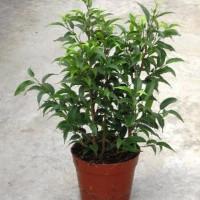Comprar ficus venta online y precios agroterra - Ficus benjamina precio ...