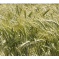 Triticale Forricale, Calidad R2
