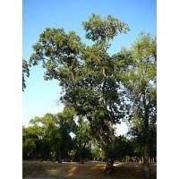 Fraxinus Angustifolia en Maceta de 25 Centíme