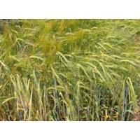 Semillas de Cebada Garbo 2C, Calidad R1