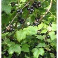 Planta de Grosella Ribes Nigrum Var. Andega. Raíz Desnuda