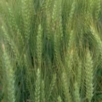 Semillas de Trigo Blando Granota, Calidad R1