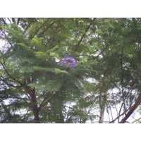 Jacaranda en Maceta de 25 Centímetros