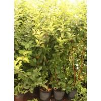 Manzano Galaxi en Maceta de 25 Cm
