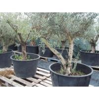 Olivo en Maceta de 120 Litros