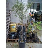 Olivo en Maceta de 30 Centímetros