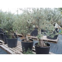 Olivo en Maceta de  50 Cm-N.1