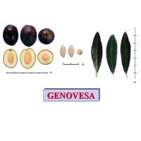 Olivo Genovesa en Maceta de 20 Cm