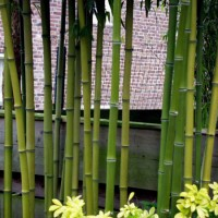 Phyllostachys Atrovaginata – Bambu – 5Litros – 100Cm de Altura – (Vb)