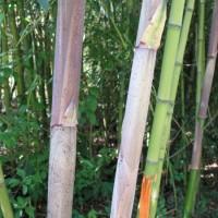 Phyllostachys Decora – Bambu – 10Litros – 120Cm de Altura – (Vb)