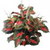 Planta Coleus en Maceta de 10 Centímetros