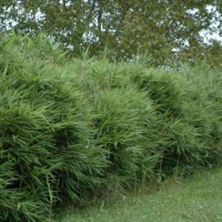 Pseudosasa Japonica Var.tsutsumiana – Bambu – 5Litros – 100Cm de Altura – (Vb)