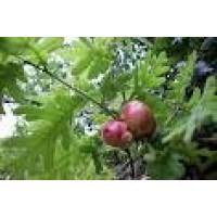 Arbol de Quercus Pyrenaica en Maceta de 20 Cent