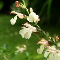 Salvia Jamensis Var.la Luna – 3Litros – 30cm de Altura – (Sg)