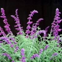 Salvia Leucantha – 3Litros – 30cm de Altura – (Sg)