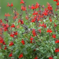 Salvia Microphylla Var.maraschina – 3Litros – 30cm de Altura – (Sg)