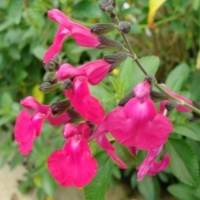 Salvia Microphylla Var.pink Flush – 3Litros – 30cm de Altura – (Sg)