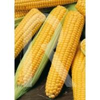 sobre Semillas Horticolas-Maiz Dulce Golden Bantan