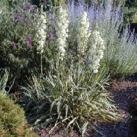 Planta de Yucca Filamentosa Variegata  en Maceta de 30 Cn