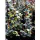 Planta de Hiedra Mini Hedera Variegata.  Planta de 60 - 70 Cm