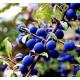 Planta de Prunus Spinosa - Endrino. 70 - 90 Cm