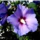 Planta de Rosa de Siria Azul Altea, Hibisco Syriacus Altura Planta 50 - 60 Cm.