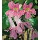 Bignonia Lindleyana en Maceta de 20 Cm