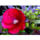 Planta de Rosa de Siria Roja, Hibisco Syriacus Altura Planta 50 - 60 Cm