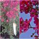 Planta de Arbol de Jupiter Lagerstroemia Petit RED. Altura Planta 30 - 40 Cm.